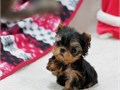 We have a Female and male Yorkie puppies for rehoming They are vaccinated beautiful teacup and ti