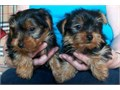 5 Pure Breed 100 Parti Color Toy Yorkies puppies adorable 2 females and 2 males