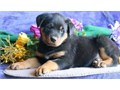 Text only  254 218-3855Brandi Reg Rottweiler pup Registered  Rottweiler ava