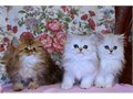 Perfect Persian Kittens lovely kittens ready to new loving homes Text us at 419 982-8742
