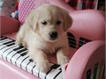 Golden Retriever Puppies for more details and pictures contact me via  pwernick7gmailcom or 385