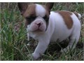 French Bulldog Male Female Medium  80000 She is a very sweet loving small girl that is quit