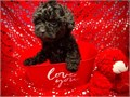 I have a litter of Toy Poodle ready to goHe is quality akc registered and have a nice pedigreeHe h