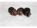 New litter of 3 beautiful babies 1 traditional male and 2 chocolate females mom 6 lbs ee-gold car