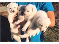 American Kennel Club Registered Both Dam and Sireparents on site additionally all puppies have