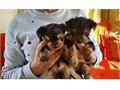 Teacup Yorkie Puppies For SaleMy puppies are all potty trained and very friendly with kids and othe