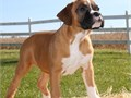 Bo xer Pups BoyGirls  10weeks old  vaccinated and come papers interested Textcall 510 296-506