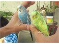 pair of tame parakeets green and Blue  Henry 714-956-4832 4500