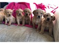Amazing Golden retriever contact me via text 213-205-4051 fast reply for more pics and detailsAKc r