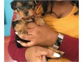 We have two super male and female cute and friendly 12 weeks old Teacup Yorkie f