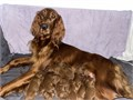 AKC Irish Setter Puppies 5 Males will be ready to go to their forever homes July 20th