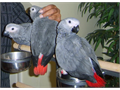 We have 2 Congo African Grey Parrots available right now Text us for more info