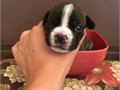 Frenchbo puppies for sale 4 females and 3 males  They are currently 4 weeks old and will be ready a