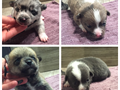 These are four adorable Pomeranian puppies available for adoption They will be ready October 14th a