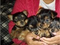 Welcoming yorkie puppies avilablemale and femaleEmail us if interested in adopting the puppies