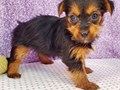 Male and female Yorkie Puppies for pet lovers They are 12 weeks old vet checked dewormed and have