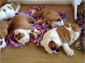 We have a stunning English bulldogs litter of red and white and fawn and white pups for sale please