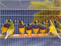 Beautiful Singing Dilute Lady Gouldians starting at 180 Now Shipping Nationwide USA No Emails Ple