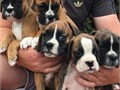 Adorable Boxer puppies male and female availableContact7145849976