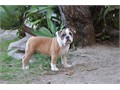 OLDE ENGLISH BULLDOGGE PUPS 1200 pet price We have three female pups available one black a