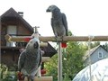 african grey MFcute male and female for sell contact for more details and pics 500 405-633-3510