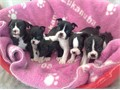 I have 4 gorgeous pups for sale 2 boys and 2 girls Both mother and father come from excellent bloo