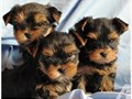 YORKIES FOR SALE PUPPIES FOR SALE YORKIE DOGS FOR SALE THEY HAVE SHOTS AND DEWORMED SERIOUS BU