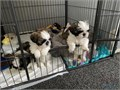 Male and female Shih Tzu pupsHad both injections microchipped dad is kc chocolat