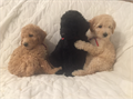 Poodle Puppies  INSTAGRAM  poodlebits 7 weeks old apricots black PUPPY PACKAGE DEAL 1 Full AKC