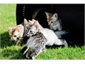Cute Home Raised TICA Savannah Kittens available and ready for new homes  F3 and F5 males and femal