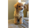 10-week-old maltipoo puppy and she is a ball of joy Has her first set of shots and is dewormed I