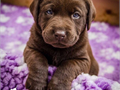 Gorgeous  AKC English female choc lab ready sept 25 2017 I train therapy and service dogs Our are