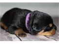 Rottweiler pups 5 females3 males available 524 Currently only females available Both parents ar