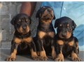 We have 5 pups available 3 male and 2 femalesThey are 9 weeks old and are ready to go nowThey have