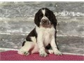 AKC English Springer Spaniel Pups For more info and pics contact us at 205 346-7638