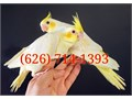 626 714-13-NINE-THREEPrices start at 130We have these High-Quality tame cockatiels and are s
