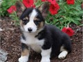 Corgi puppies For Sale They are obedient and well socialized and love to play CALLTEXT 626 268