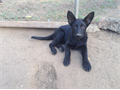 akc solid black male pup from germanCzech working line ancestry 80 plus years of select breeding