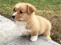 Potty trained AKC registered male and female corgi puppies ready to goText us