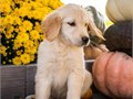 Cute cuddly and ready to begin lifes adventures These adorable Golden Retriever babies are super