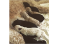 Beautiful Top of the line Multi Gen Goldendoodle Puppies just born Both Parents have amazing Pedigr