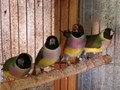 Available Gouldians from last year hatch   Males and females