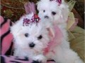 We have three one male and two female beautiful special Maltese puppies for your family They are