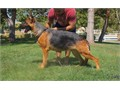German Shepherd This is the perfect female for anyone who appreciates a top quality female with a