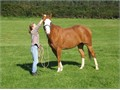 Easy uncomplicated horse to ride with a lovely temperamentgreat to show and would suit a both man a