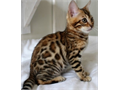 Real Bengal Kittens Male and Female Bengal Kittens For Sale  Available Now For Quick Responses Text