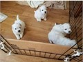 Adorable puppies ready to go into their new home and family both males and females Pups are vaccina