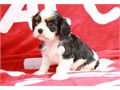 Fantastic males and females Cavalier King Charles Spaniel puppies ready to go They comes with all h