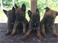 Belgian Malnois and German Shepard puppies 6 weeks old 7 males 1 female Parents on site Call for