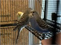 Young parakeets hatched in July looking for forever home Have new clutch hatching soon